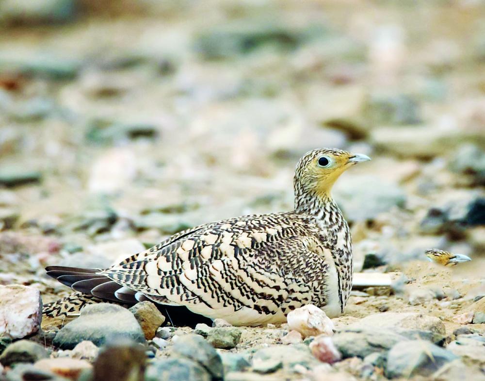 جازان موطن متميز لـ 70 نوعا من الطيور المهاجرة المدينة